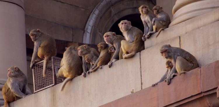 Monkeys steal blood samples of Covid-19 patients from lab technician in India